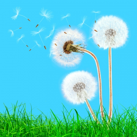 Overblown dandelions in the grass on the blue sky photo