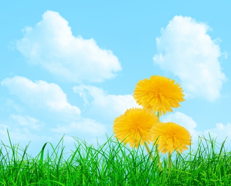 Three yellow dandelions in the grass on the blue sky Stock Photo