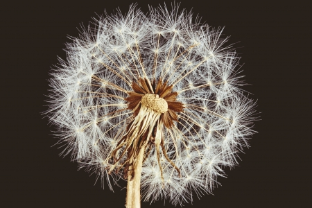 Close-up of overblown old-fashioned dandelion on brown background Stock Photo