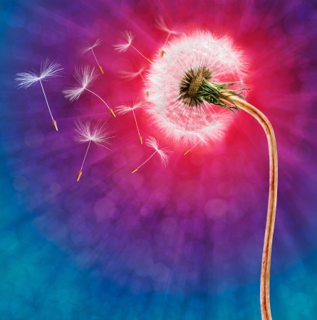 Dandelion on the long stem with flying seeds photo