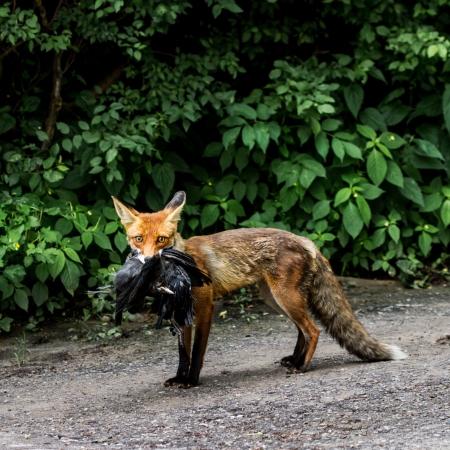 red fox: Fox carries its prey