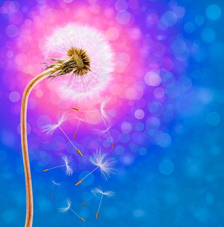 Dandelion on the long stem at sunset, on defocused background