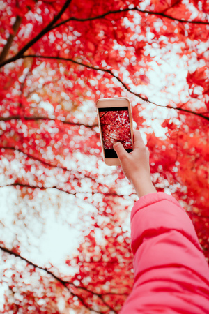 Taking a photo of brilliant red autumnal tree with smartphone Stock Photo