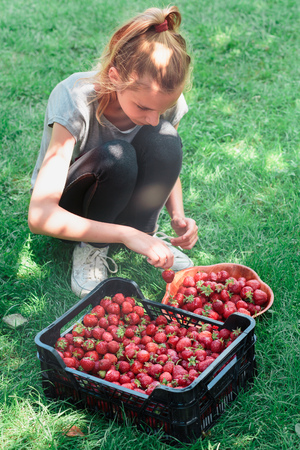 Girl putting freshly picked strawberries to a bowl Stock Photo