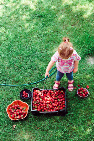 Little girl washing strawberries freshly picked in a garden