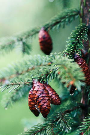 Pine cones and twigs, evergreen plant, rain drop. Wet tree after raining. Natural environment, sustainability. Copy space room for text at top Banco de Imagens