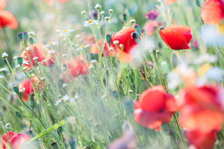 Poppies flowers and other plants in the field. Flowery meadow flooded by sunlight in the summer Banque d'images - 118520437