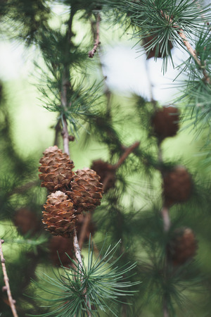 Pine cones and twigs, evergreen plant. Natural environment, sustainability Banco de Imagens