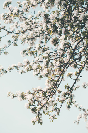 Close up of branches with white cherry blossoms in orchard in spring. Spring flowers. Spring background Reklamní fotografie