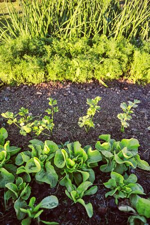 Vegetables growing in home garden. Lettuce, chives and carrot Reklamní fotografie