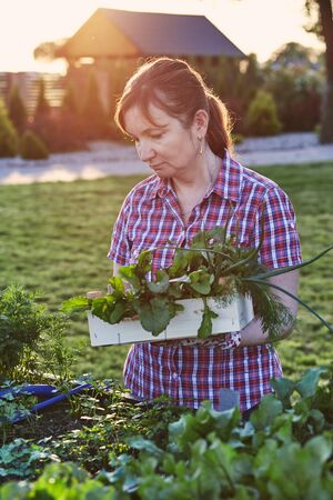 Woman working in a home garden in the backyard, picking the vegetables and put to wooden box. Candid people, real moments, authentic situations