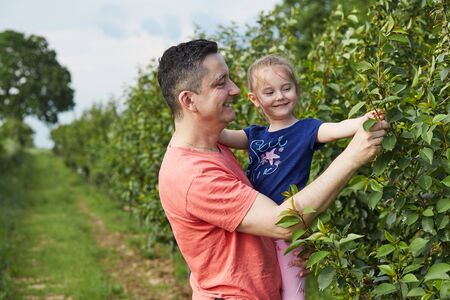 Father showing her daughter cherries growing in a orchard