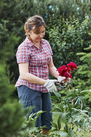 Woman working in a backyard garden using secateurs trimming plants. Candid people, real moments, authentic situations