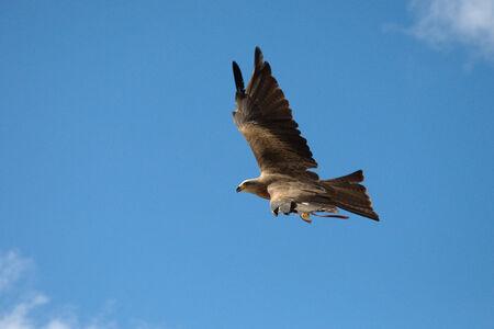 milvus: Black Kite, Milvus migrans Stock Photo