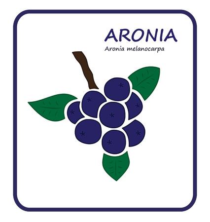 aronia: Aronia branch vector illustratin