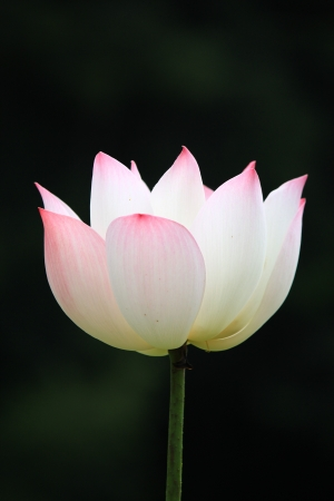 Lotus flower isolated on black background photo