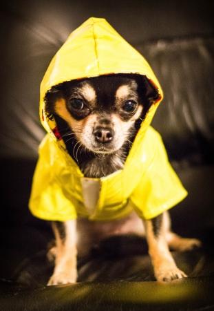 Chihuahua wearing a raincoat photo
