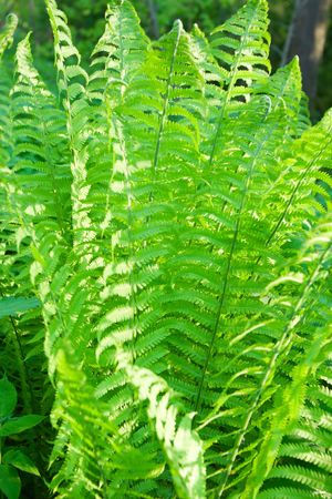 furl: fern plant with sunlight spots in the forest Stock Photo