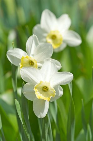 narcissus flower and leaves, small deep of view