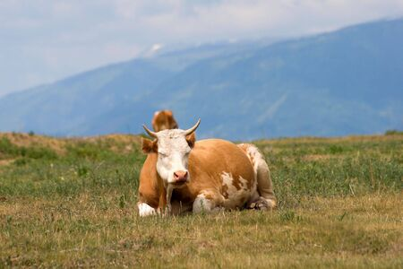 cow in lying on the pasture Stock Photo - 3441871