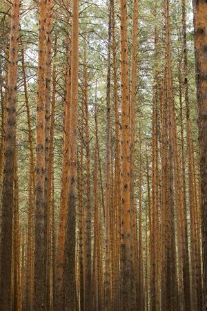 forest, pine tree trunks background