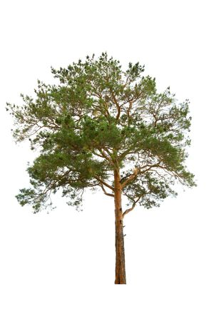 old pine tree isolated on white