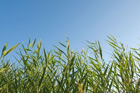 reed stems on the blue  sky photo