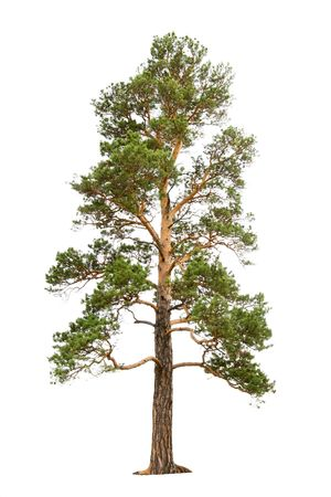 pine: old pine tree isolated on white