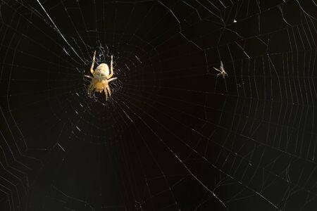 arachnoid: spider on the cobwed macro shot