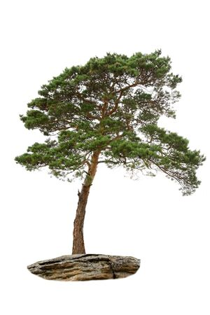 old pine tree isolated on white photo