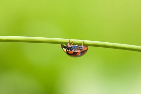 ladybug is walking on grass stem Stock Photo - 3905695