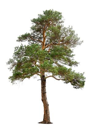 old pine tree isolated on white Stock Photo - 3926187