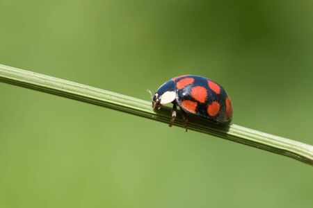 ladybug is walking on grass stem photo