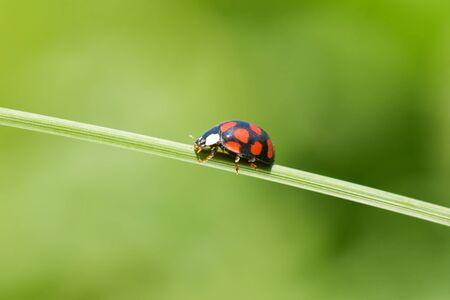 counterpoise: ladybug is walking on grass stem Stock Photo
