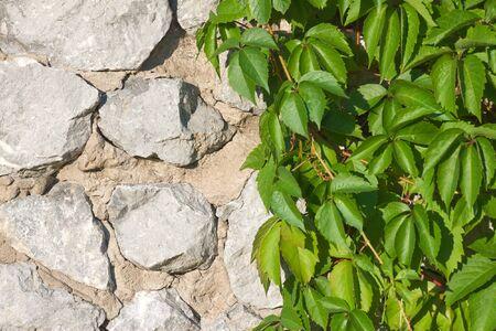 hop plant on stone wall backfround Stock Photo - 3992517