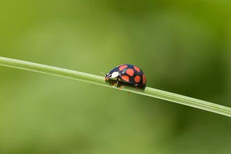 ladybug is walking on grass stem photo