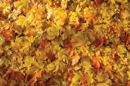 gold maple fallen leaves background