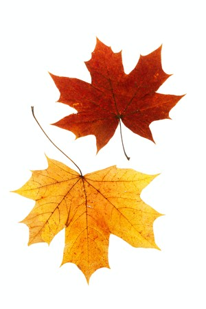 dry maple leaf is isolated on white  photo