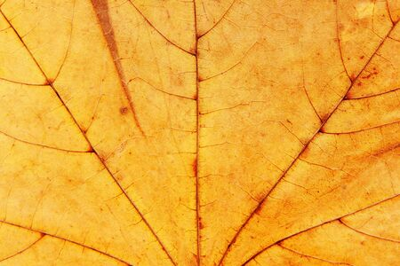 dry maple leaf macro texture Stock Photo - 4359194