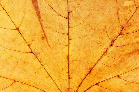 dry maple leaf macro texture photo