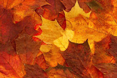 authumn dry maple leaf background photo