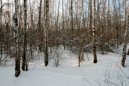 sunny day in winter forest Stock Photo - 4457345
