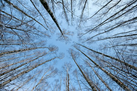 winter tree crowns on deep blue sky photo