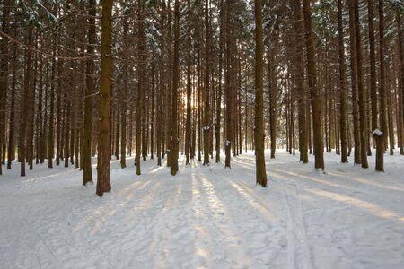 sunlight rays in fir winter forest photo