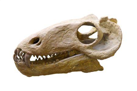 darwinism: dinosaur skull in paleontological  museum