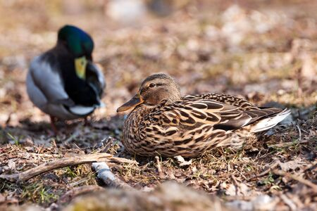 mallards on ground with dry leaf photo