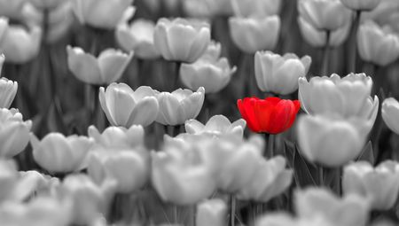 colorless tulips background with a single red one