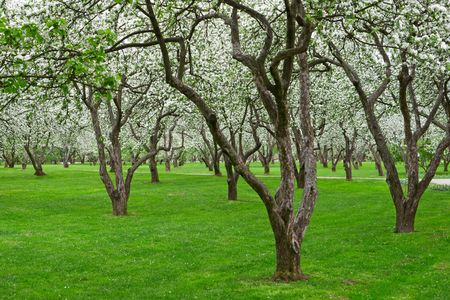bloomy: Bloomy apple tries in garden with green grass