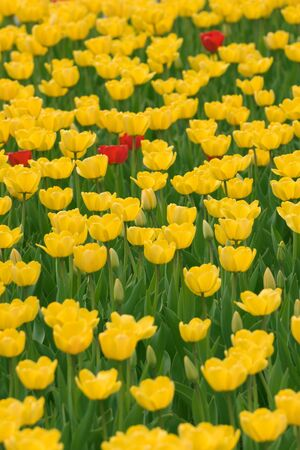 Yellow tulips background with few red ones Stock Photo - 6038372