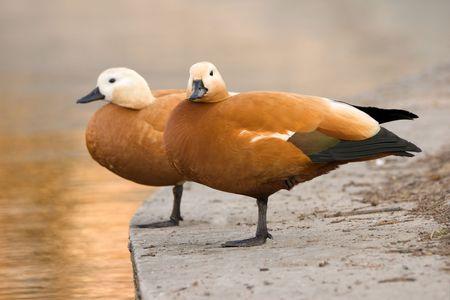 two ducks ara staying on one leg on pier photo